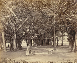 Banian tree in Barrackpore Park, interior view
